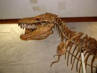 Экспозиции: Скелет крупного хищного динозавра - тарбозавра