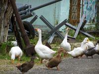 Гуси и утки, живущие в парке