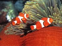 Экспозиции: Рыбки-клоуны