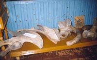 Фрагмент экспозиции. Кости мамонта. Возраст находок 10-12 тыс. лет