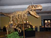Трабозавр, возраст 75 млн. лет