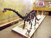 Экспозиции: Скелет Диплодока