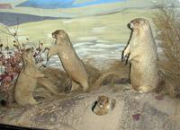 Витрина Сурки в зале Природа и животный мир родного края