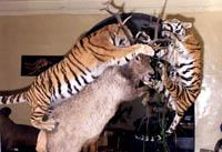 Зал зверей. Биогруппа Охота тигров на изюбров