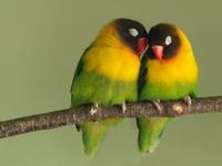 Влюбленный птицы