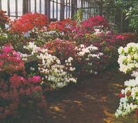 Экспозиции: Цветущие азалии. Петербург, Ботанический сад