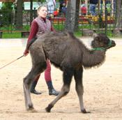 Верблюжонок. Ленинградский зоопарк