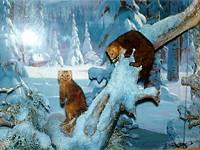 Диорама Соболя в зимней тайге. Зал природы