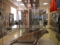 Фрагмент экспозиции. Байкальский тюлень