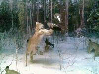 Значимые места: Диорама Охота рысей