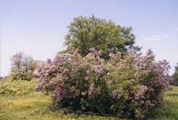 Сирень в парке усадьбы Шахматово