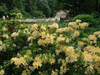 Рододендрон мягкий и водный партер (на заднем плане). Ботанический сад МГУ Аптекарский огород
