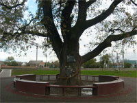 Памятник природы - дуб, которому 300 лет