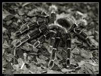 Паук-птицеяд. Фото  Александра Чувилина
